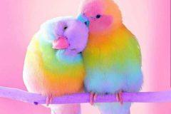 rainbow-muhabbet-kuslari-3-min