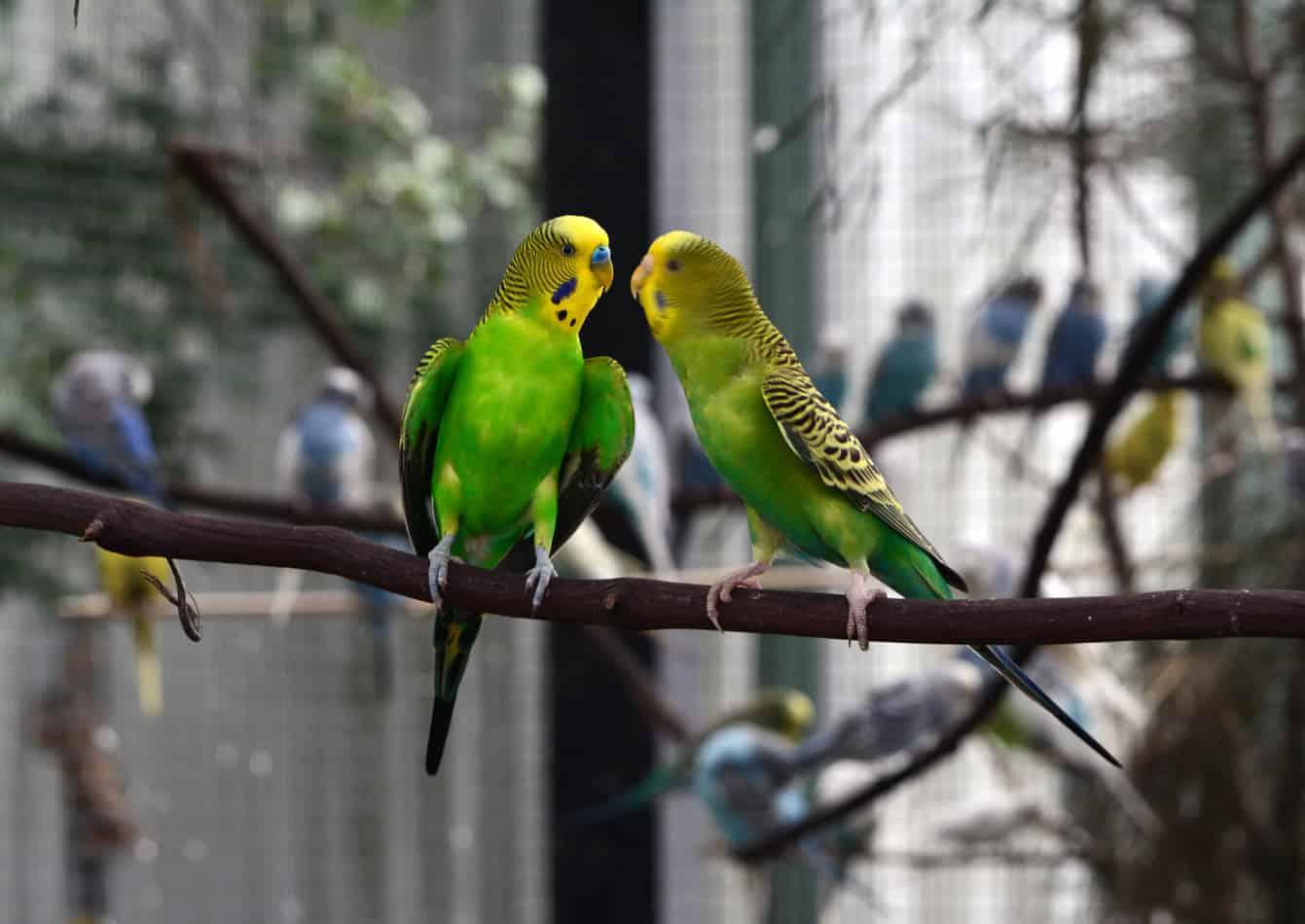Muhabbet Kuşları Birbirlerine Ne Kadar Sürede Alışır?