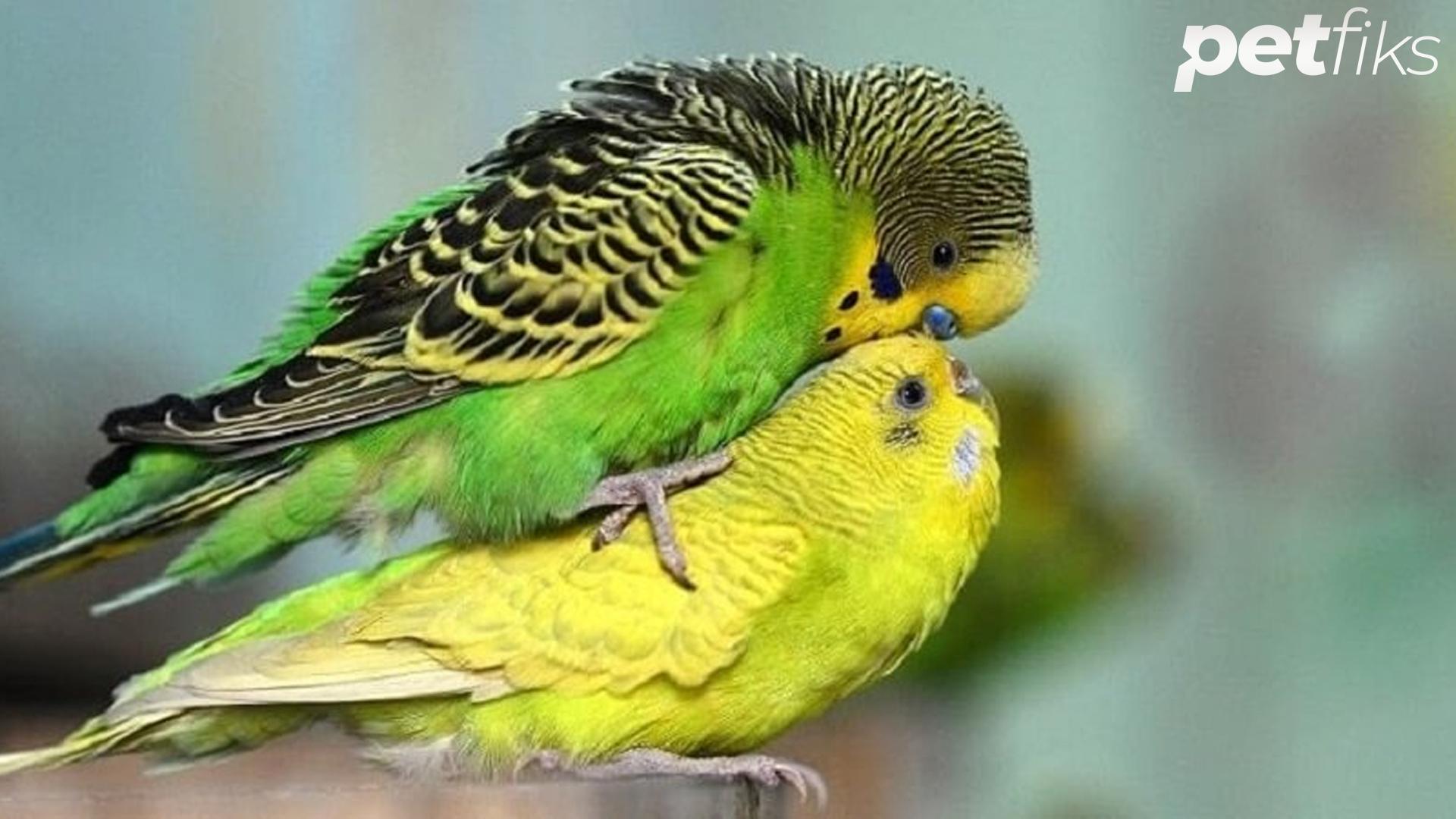 Muhabbet Kuşu Nasıl Kızıştırılır?