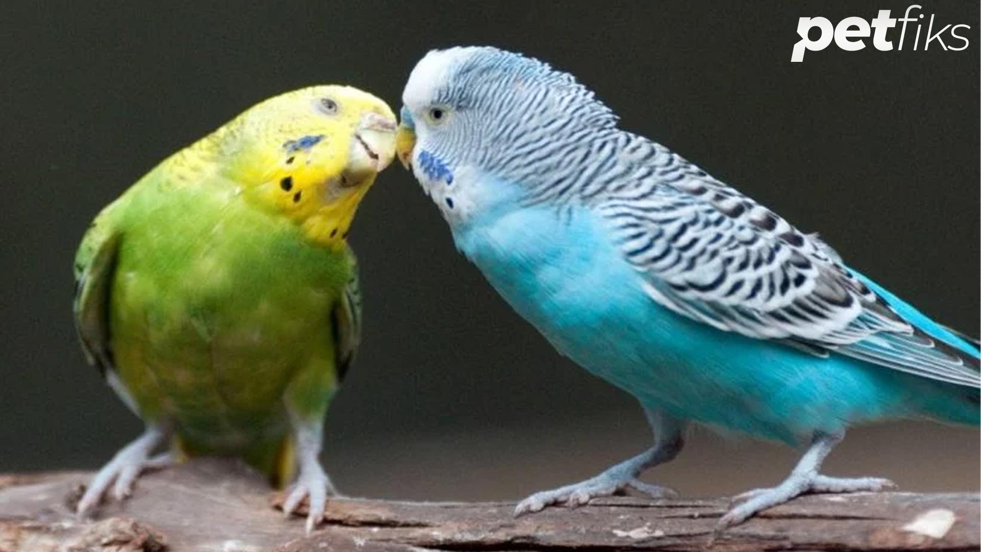 Muhabbet Kuşları Kızıştırma Yöntemleri