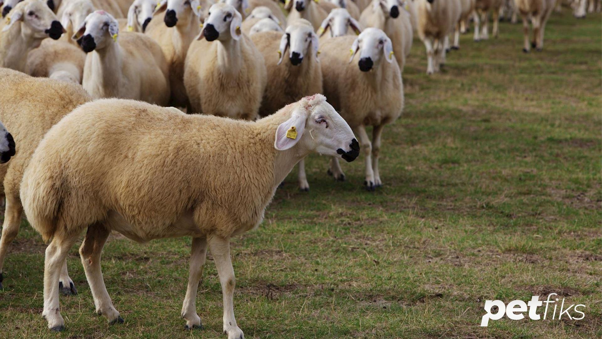Sakız Koyunu Özellikleri ve Bakım Rehberi