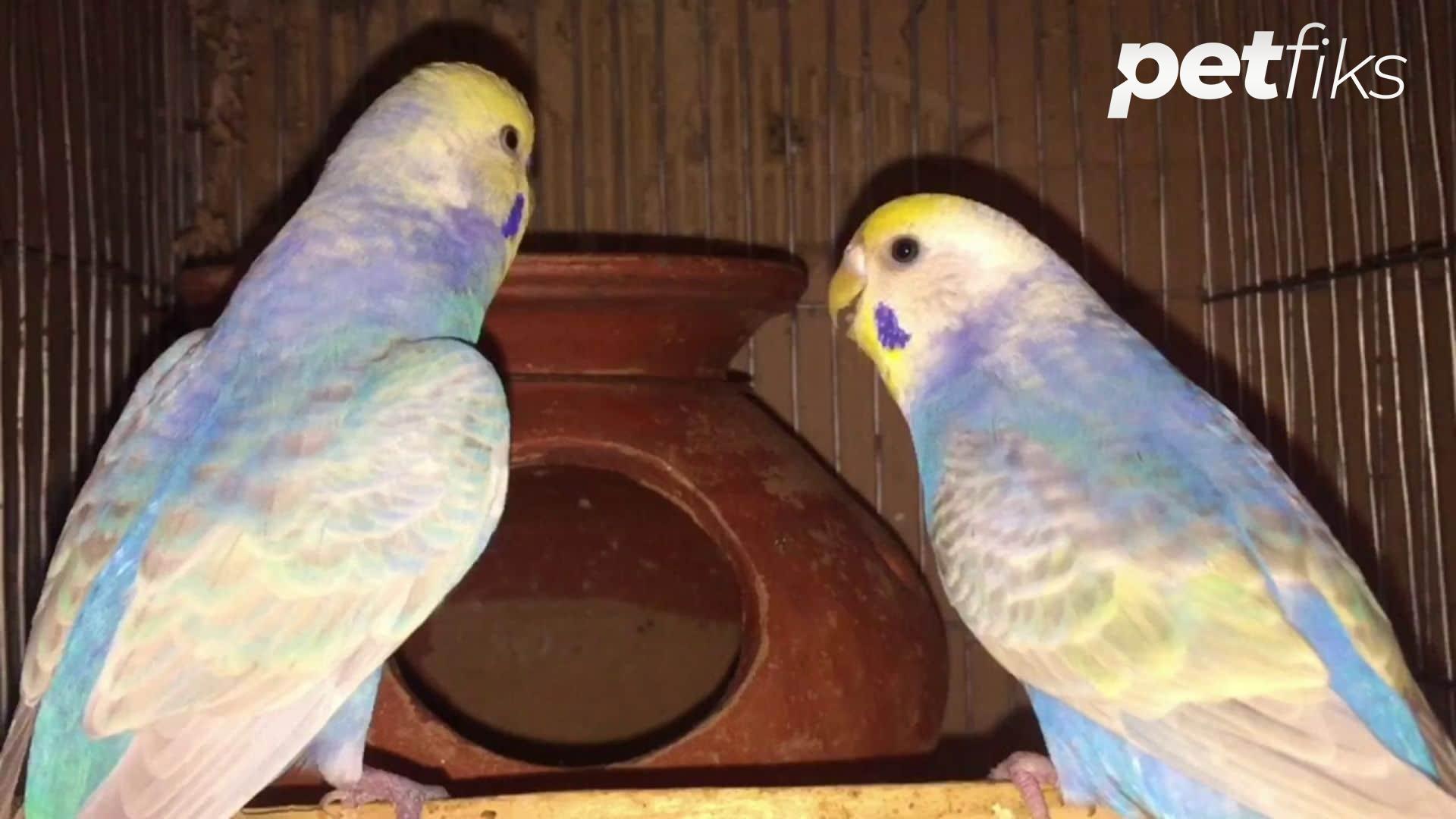 Rainbow Muhabbet Kuşu Üretimi