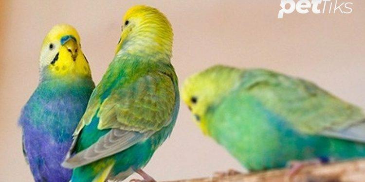 Rainbow Muhabbet Kuşu Özellikleri ve Bakım Tavsiyeleri