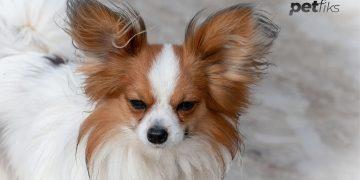 Papillon Köpek Irkı Özellikleri ve Bakım Rehberi