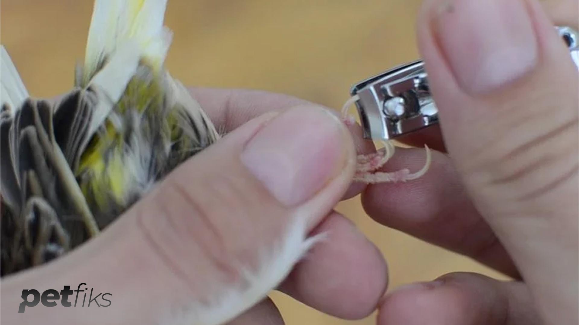 Muhabbet Kuşu Tırnağı Nasıl Kesilir? Dikkat Edilmesi Gerekenler