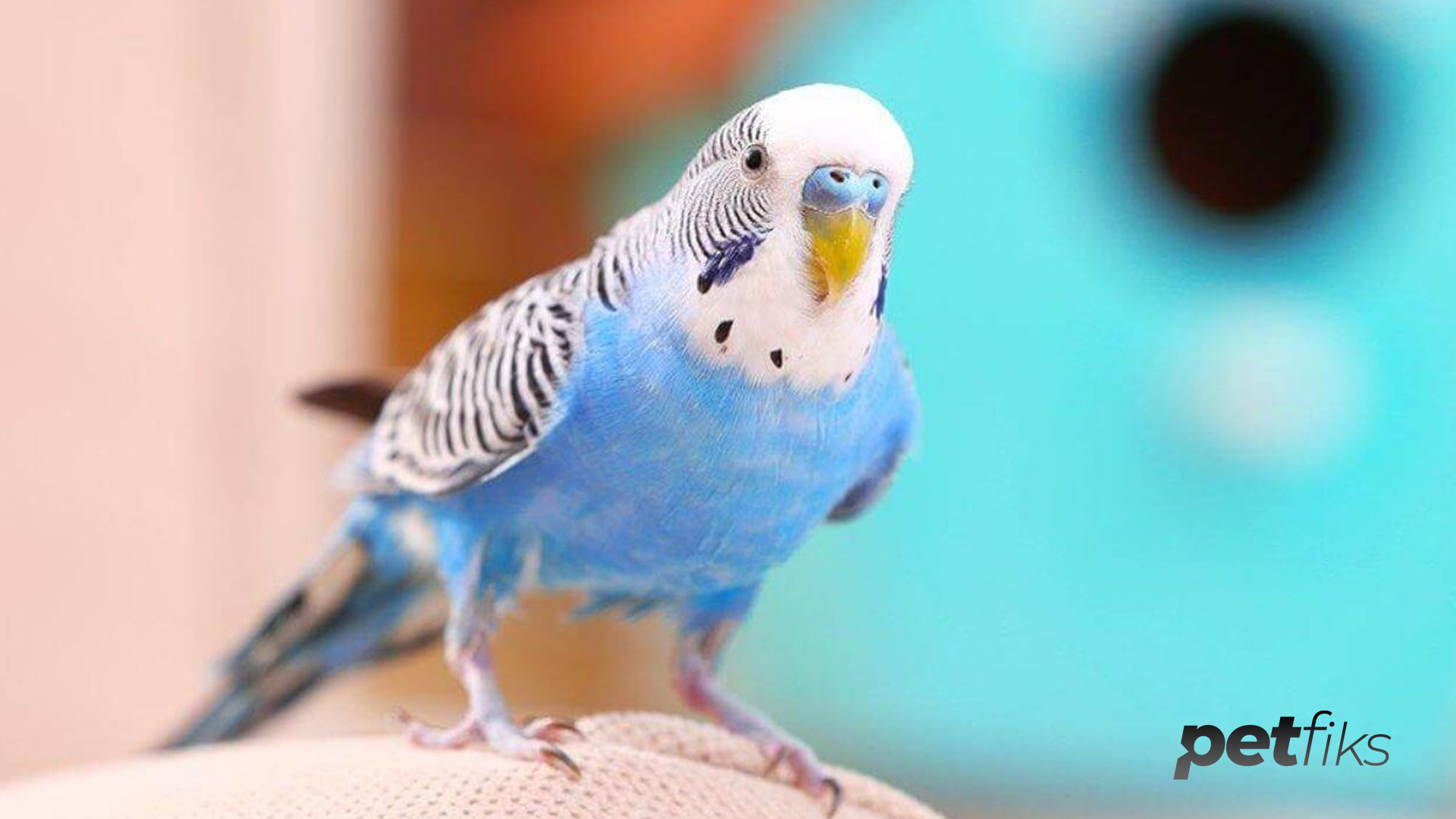 Muhabbet Kuşu Konuşturma Eğitimi