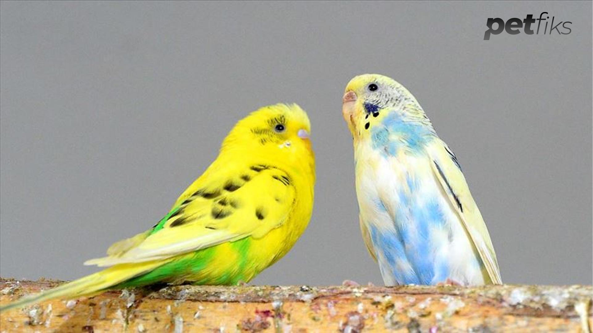 Muhabbet Kuşlarının Sevdiği Kelimeler