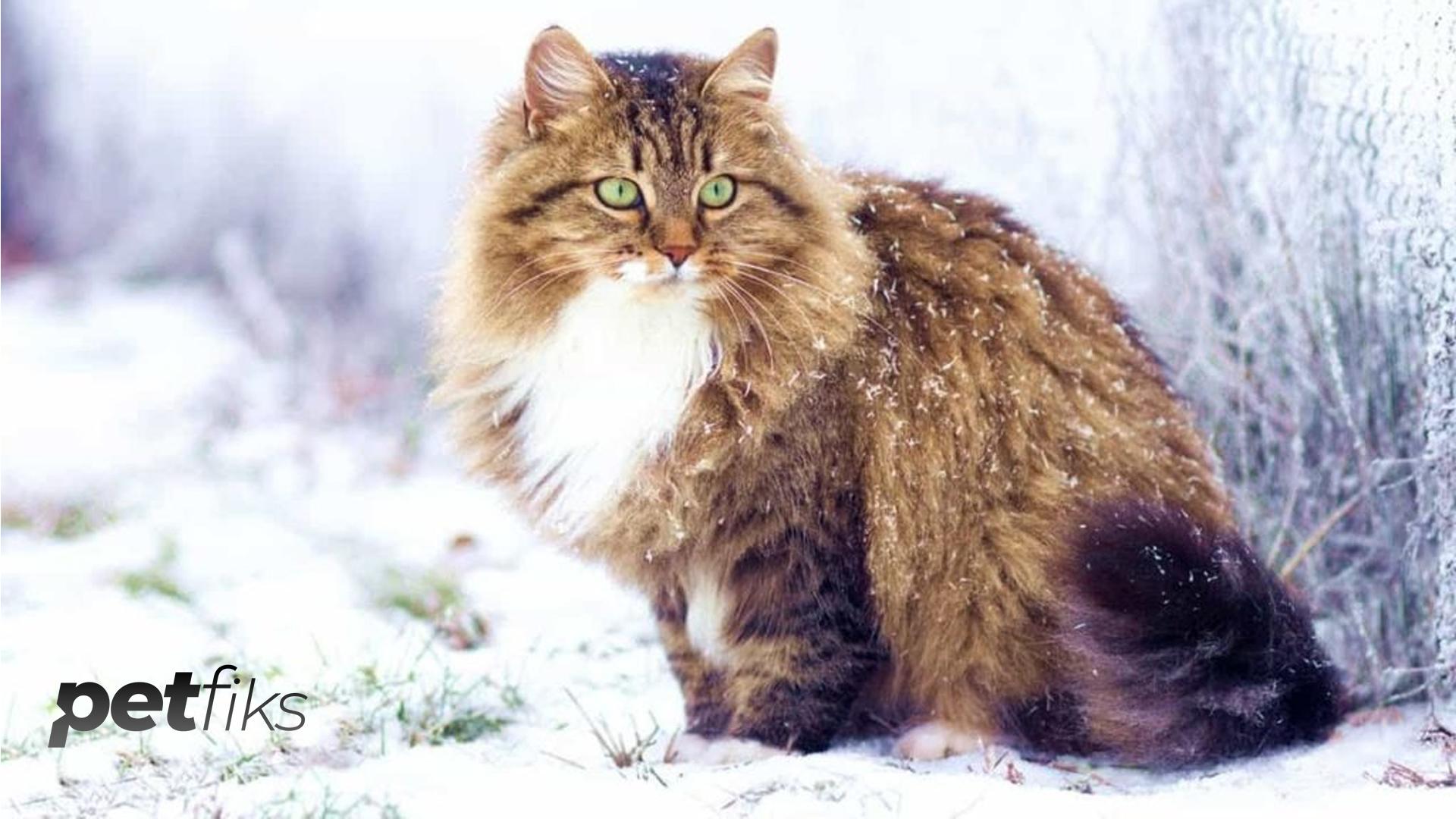 Tüm Sevimliliğiyle Sibirya Kedisi