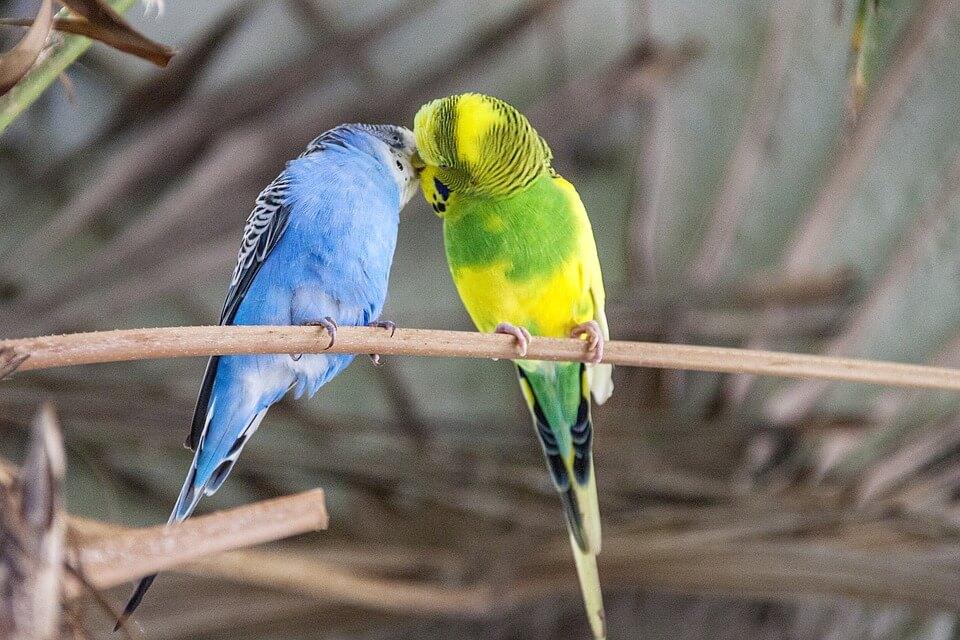Muhabbet Kuşu Eşine Nasıl Alışır?