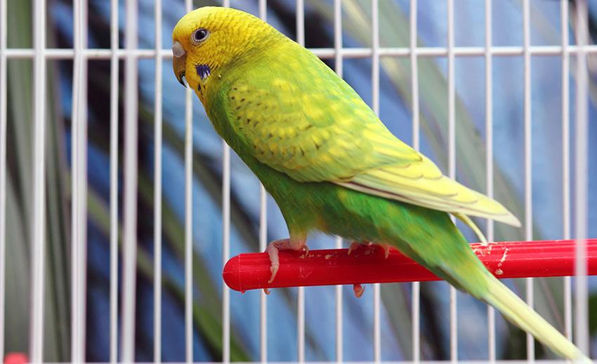 Muhabbet Kuşu Kafesi Nasıl Olmalı? İçerisinde Neler Olmalı?