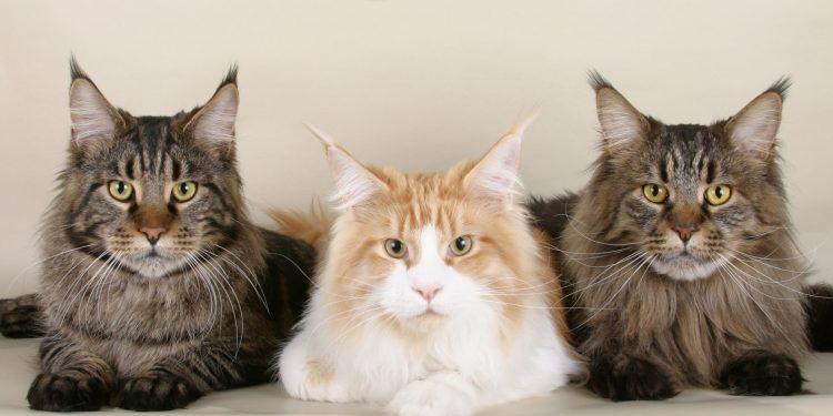 Maine Coon Kedi Özellikleri ve Bakımı