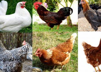 En Çok Yumurta Veren Tavuk Türleri Nelerdir?
