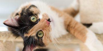 Kedilerde Ses Kısıldığında Ne Yapılmalı Kedilerin Sesi Neden Kısılır?