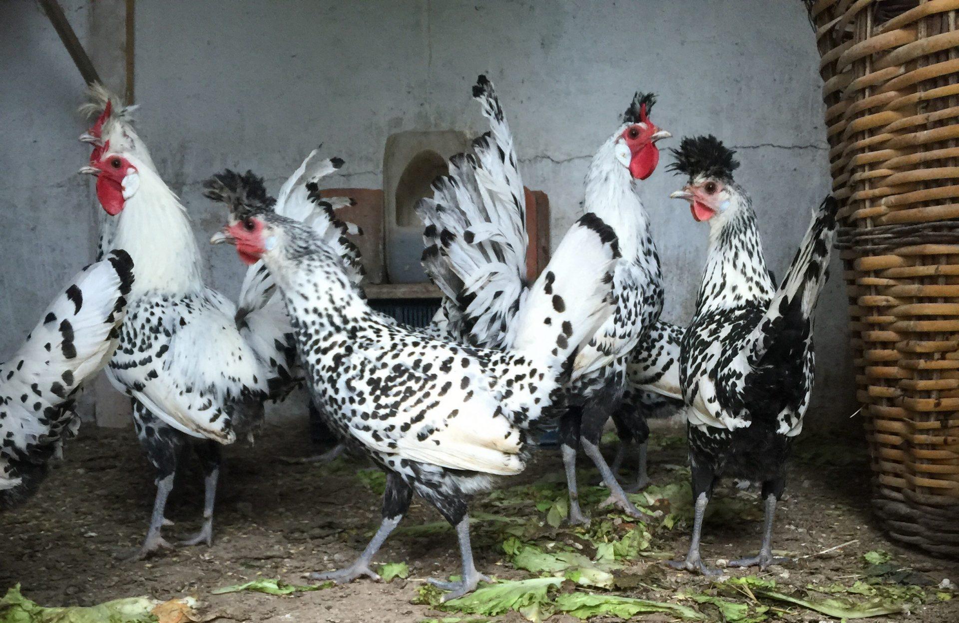 Appenzeller Tavuk Cinsi