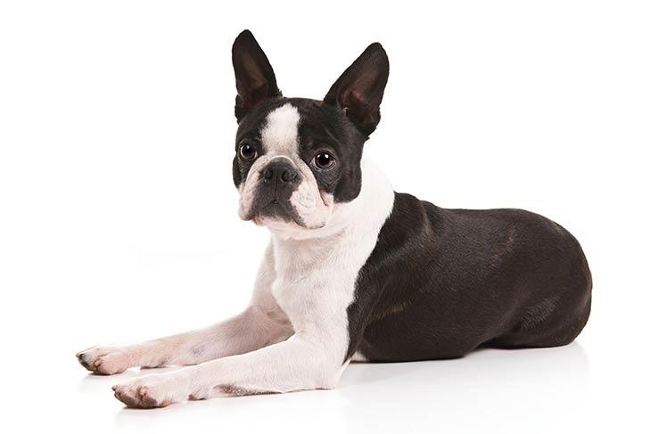 Evde Bakılabilecek Havlamayan Köpek Türleri Nelerdir?