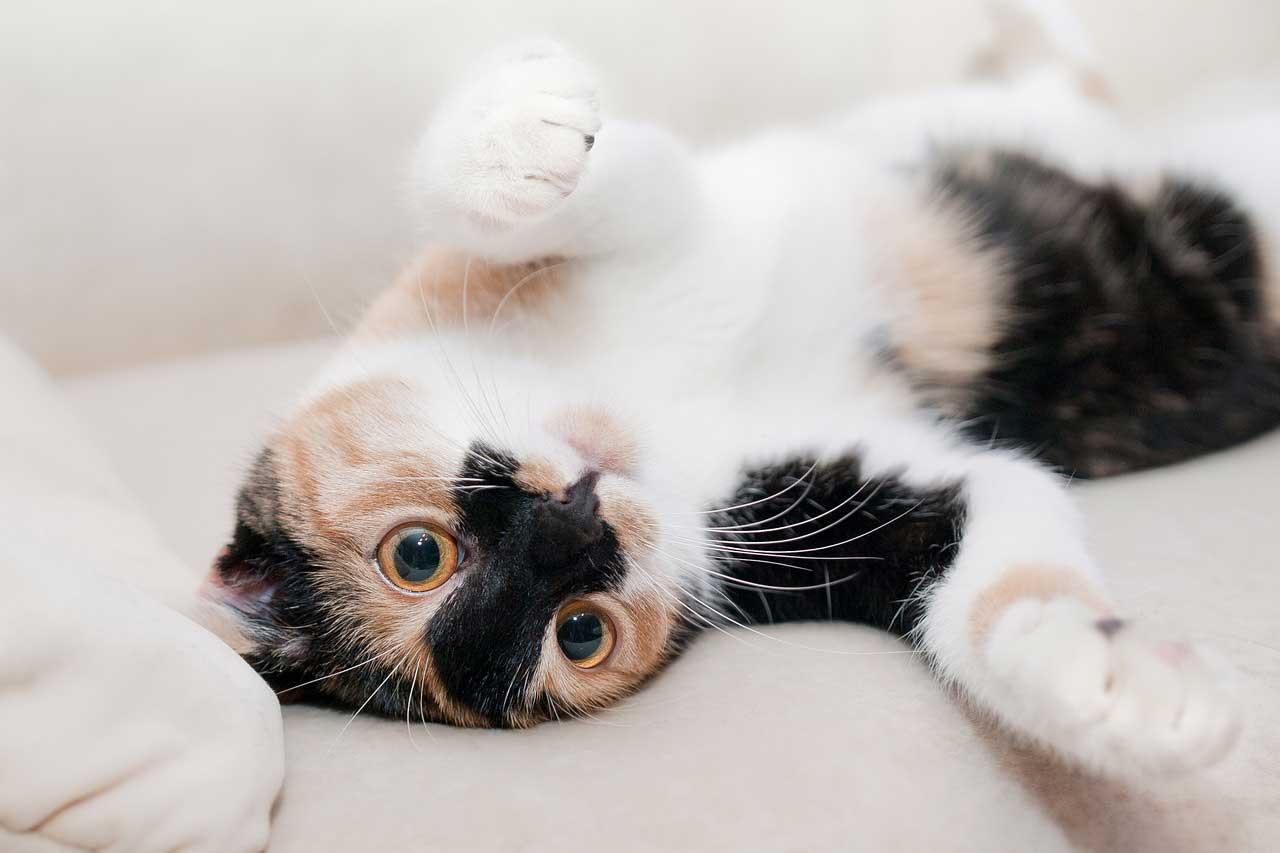Kedilerin Karnı Neden Şişer? Kedilerde Karın Şişliğinde Ne Yapılmalı?
