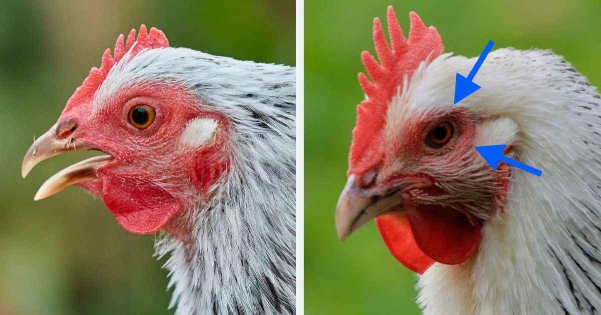 Tavuklarda Hırıltı Neden Olur? Hırıltı Nasıl Geçer?