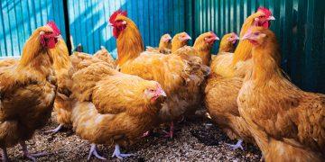 Tavuklar Nasıl Yumurtlatılır? Tavuklardan Nasıl Daha Fazla Yumurta Alınır?