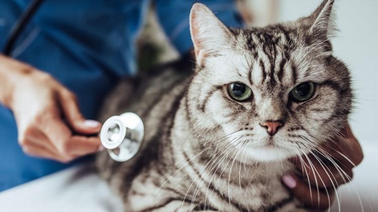 Kedilere Aşı Yapılmazsa Ne Olur?