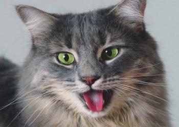 Kediler Neden Hırıltılı Nefes alır? Hırıltılı Nefes Almanın Çözümleri Nedir?