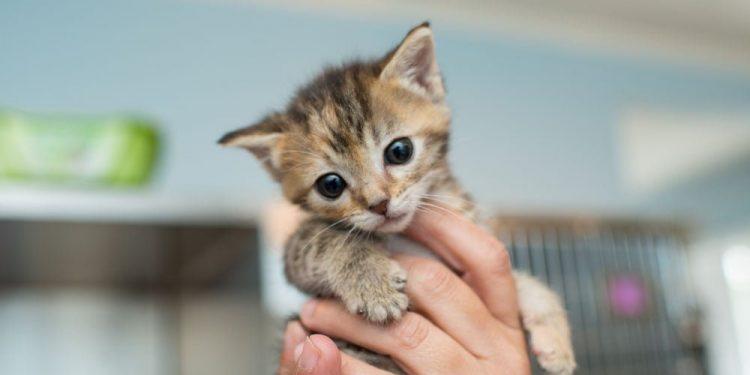 Yavru Kedi Kakasını Yapamıyorsa Ne Yapılmalı?