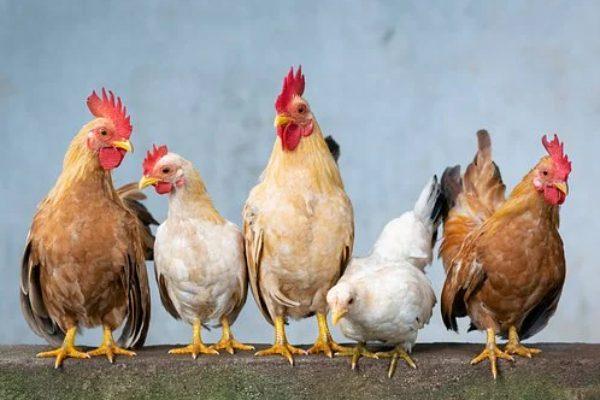 Tavuk Biti Nasıl Geçer? Tavuk Bitine Ne İyi Gelir?