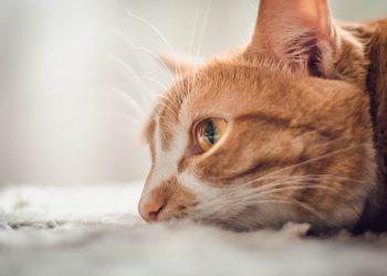 Kedilerin Ölüm Belirtileri Nedir?