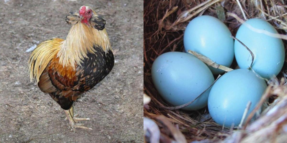 Mavi Yumurtlayan Tavuk Araucanas Bakımı Nasıl Olur?